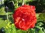Ros Samma ros igen. 2008-07-04 Bild 037