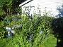 Bild 044 Uteplatsen. Här finns Buddleja och en massa Riddarsporrar. 2008-07-04 Bild 044