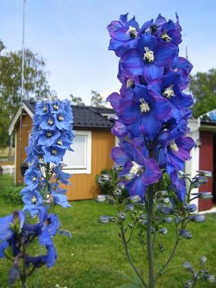 Riddarsporre  2008-07-07 Bild 067 Granudden Färjestaden Öland