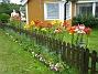 Liljor  2008-07-12 Bild 003