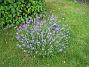Lavendel  2008-07-12 Bild 075