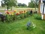 Liljor vid staketet  2008-07-12 Bild 076