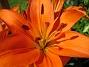 Liljor  2008-07-24 Bild 009