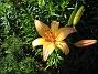 Liljor  2008-07-24 Bild 011
