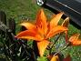 Liljor  2008-07-24 Bild 056