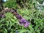 Fjärilsbuskar  2008-07-24 Bild 058
