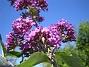 Buddleja  2008-07-24 Bild 066