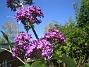 Budleja   2008-07-24 Bild 067