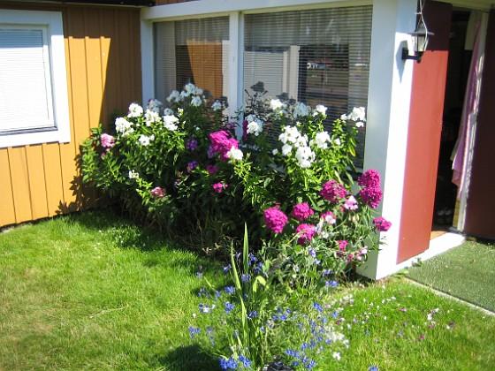 Höstflox { Mina Höstflox har redan börjat blomma. De doftar underbart. }