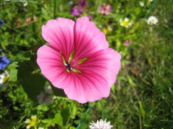 Sommarblomma Jag vet inte vad denna blomma heter.&nbsp 2008-07-28 Bild 017 Granudden Färjestaden Öland