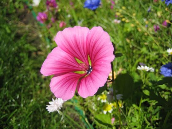 Sommarblomma Jag vet inte vad denna blomma heter.&nbsp 2008-07-28 Bild 018 Granudden Färjestaden Öland