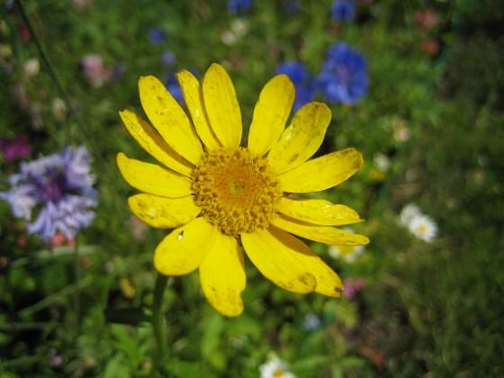 Sommarblomma Jag vet inte vad denna blomma heter.&nbsp 2008-07-28 Bild 020 Granudden Färjestaden Öland
