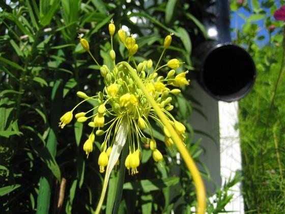 Allium { Fyrverkeri (Bakker) }