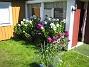 Höstflox Mina Höstflox har redan börjat blomma. De doftar underbart. 2008-07-28 Bild 001