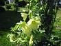 Stockros Gula Stockrosor, Gulros, vid körsbärsträdet. 2008-07-28 Bild 012