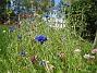 Sommarblommor Mitt försök att skapa en egen liten sommaräng. 2008-07-28 Bild 014