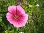 Sommarblomma Jag vet inte vad denna blomma heter. 2008-07-28 Bild 016