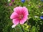 Sommarblomma Jag vet inte vad denna blomma heter. 2008-07-28 Bild 018