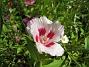 Sommarblomma Jag vet inte vad denna blomma heter. 2008-07-28 Bild 021