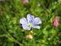 Bild 034 Denna blåa lilla blomma är verkligen vacker. 2008-07-28 Bild 034
