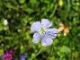 Denna blåa lilla blomma är verkligen vacker. (2008-07-28 Bild 035)