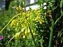 Allium Fyrverkeri (Bakker) 2008-07-28 Bild 051