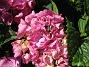 Hortensia  2008-07-28 Bild 063