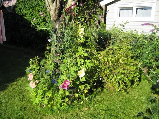 Stockrosor Ja nu är vi inne i Augusti, semestern går mot sitt slut men inte sommaren - det finns mycket blommor att titta på.&nbsp 2008-08-01 Bild 001 Granudden Färjestaden Öland