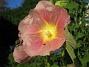 Stockrosor Som synes så skiner solen på mina blommor. 2008-08-01 Bild 014