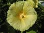 Stockrosor Denna gula färg gillar jag. 2008-08-01 Bild 025