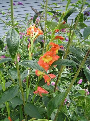 Gladioler { Dessa Gladioler låg dessvärre ner på marken, men jag har bundit upp dem. Några Gladioler hade gått av i regnet och blåsten. }