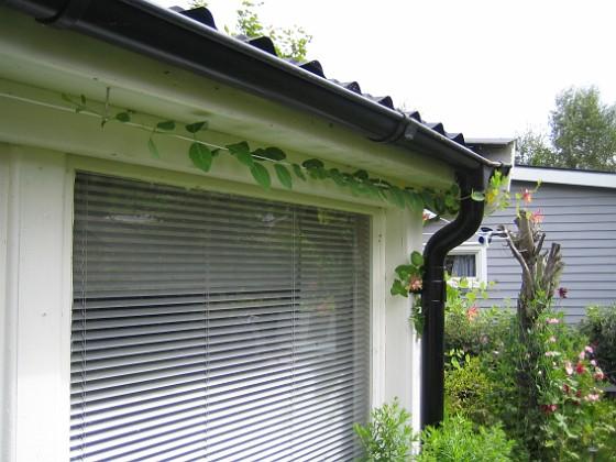 Kaprifol { Kaprifolen klänger vidare på mitt nya snöre ovanför altanfönstren! }
