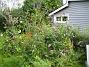 Uteplatsen Jag har fått rensa rejält i mina Fjärilsbuskar, de hade blivit nedtyngda och låg nästan på marken. Jag har dessutom stagat upp dem med pinnar och snören. 2008-08-16 Bild 029