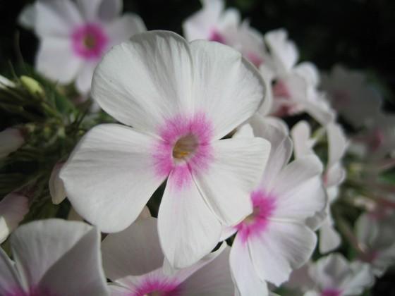 Höstflox { Denna sorten är vit med rosa öga i mitten. }