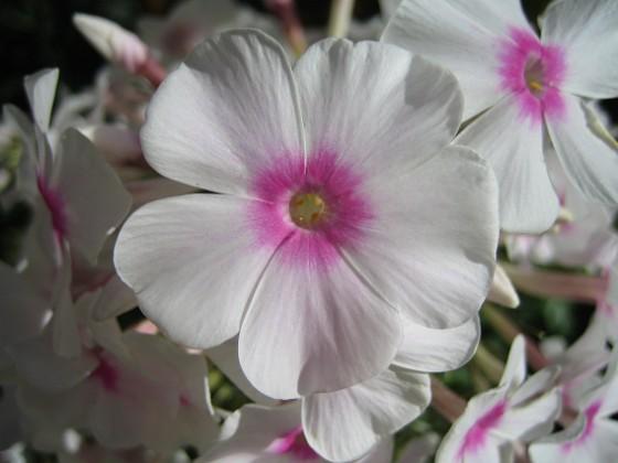 Höstflox { Solen gör sitt till för att göra denna blomma ännu vackrare. }
