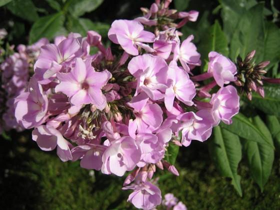 Höstflox { Detta är en rosa Höstflox. }