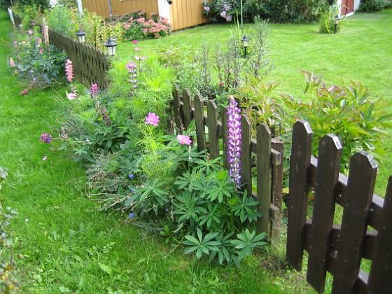 Utsidan staketet Här har jag en hel rad med Lupiner, som faktiskt börjat blomma så här på hösten.&nbsp 2008-09-14 Bild 002 Granudden Färjestaden Öland