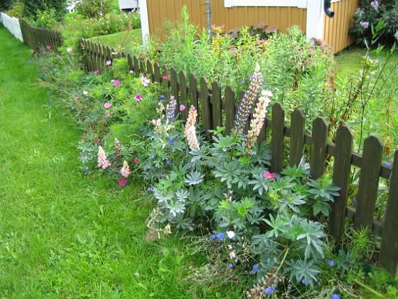 Utsidan staketet Här har jag en hel massa Lupiner.&nbsp 2008-09-14 Bild 003 Granudden Färjestaden Öland