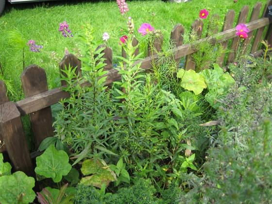 Astrar Dessa långa Astrar kan det bli blommor på i år.&nbsp 2008-09-14 Bild 007 Granudden Färjestaden Öland