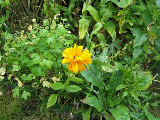 Rudbeckia { Jag satte en hel massa frön med ettåriga Rudbeckior här. En enda liten blomma har det blivit. }