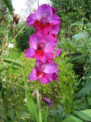 Gladioler Märkligt detta - Gladioler som blommar för fjärde året!&nbsp 2008-09-14 Bild 025 Granudden Färjestaden Öland