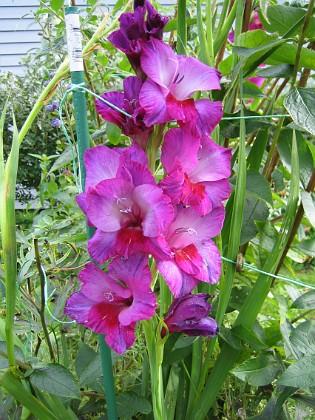 Gladioler Men de flesta Gladiolerna bryts av eftersom de blir så höga. Jag kan ju inte vara där dygnet runt och skydda dem mot detta öde.&nbsp 2008-09-14 Bild 026 Granudden Färjestaden Öland