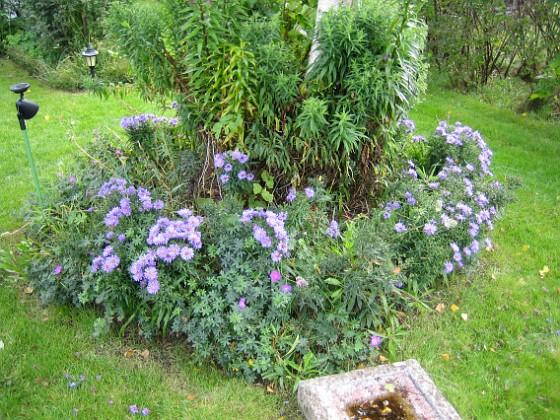 Björken Astersorten heter 'Early Blue'.&nbsp 2008-09-14 Bild 035 Granudden Färjestaden Öland