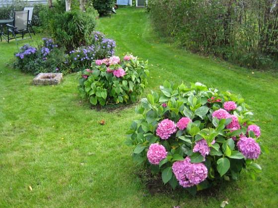 Hortensia { Hortensia i förgrunden och blåa Astrar i bakgrunden. }