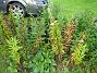Staket, höger Lägg särskilt märke till Astrarna längst in mot staketet samt Rudbeckia (endast blad) som syns på marken. 2008-09-14 Bild 010