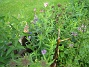 Närbild på Astrarna. Dessa drev jag upp i våras och planterade ut i början av sommaren. Förvånansvärt att det blir blommor redan i år. (2008-09-14 Bild 011)