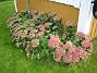 Kärleksört Dessvärre ser buskarna risiga ut. Nästa år måste jag komma ihåg att binda ihop dem så att de inte ligger ner på marken! 2008-09-14 Bild 014