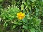 Rudbeckia Jag satte en hel massa frön med ettåriga Rudbeckior här. En enda liten blomma har det blivit. 2008-09-14 Bild 017