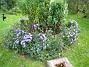 Astersorten heter 'Early Blue'. (2008-09-14 Bild 035)