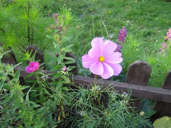 Rosenskära { En Rosenskära som letat sig in genom staketet, från utsidan. }